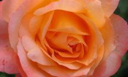 gratis-pflegeanleitung-rosen
